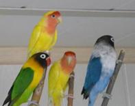 Большое поступление попугаев неразлучников